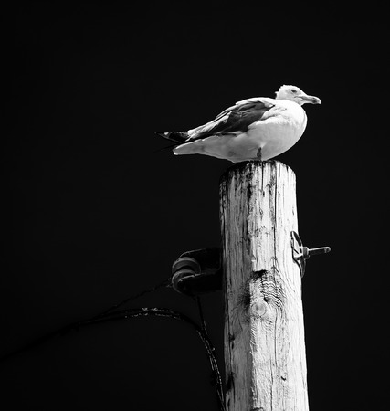 Seagull on top of a utility pole in Point Pleasant Beach, New Jersey.