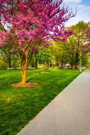 redbud: Redbud trees along a path at the Capitol Complex in Harrisburg, Pennsylvania.