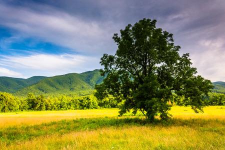 Baum in einem Feld auf der Cades Bucht, Great Smoky Mountains National Park, Tennessee.