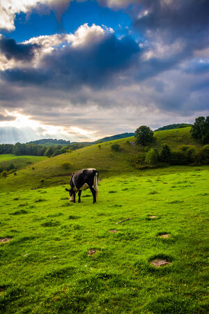 north ridge: Cow in a field at Moses Cone Park on the Blue Ridge Parkway in North Carolina. Stock Photo