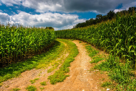 dirt road: Dirt road through a cornfield in rural Carroll County, Maryland.