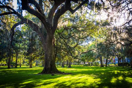 Large oak trees and spanish moss in Forsyth Park, Savannah, Georgia.