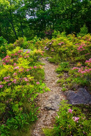 laurel mountain: Mountain laurel along a trail in Shenandoah National Park, Virginia.