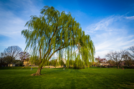 weeping willow: Weeping willow tree at Baker Park, in Frederick, Maryland.