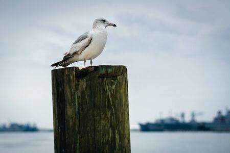 fells: Seagull on a pier piling in Fells Point, Baltimore, Maryland.