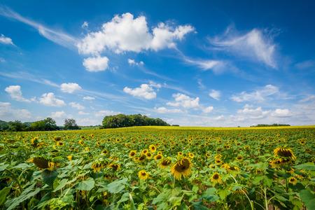 maryland: Sunflower field in Jarrettsville, Maryland.