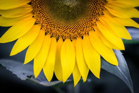 maryland: A sunflower in Jarrettsville, Maryland.