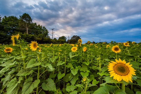 Jarrettsville、メリーランド州の夕日のひまわり畑。