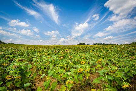 Jarrettsville、メリーランド州のひまわり畑。