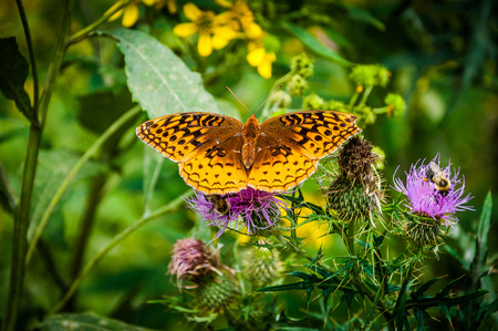 spangled: Great Spangled Fritillary butterfly on a purple thistle flower in Shenandoah National Park, Virginia.