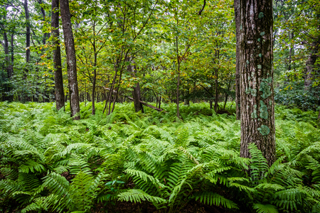 Ferns and trees in the forest, in Shenandoah National Park, Virginia.