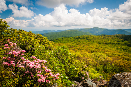 laurel mountain: Mountain laurel and view of the Blue Ridge on Stony Man Cliffs in Shenandoah National Park, Virginia. Stock Photo