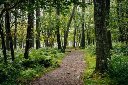 Farne und Bäume entlang einer Strecke im Wald, Shenandoah Nationalpark, Virginia.