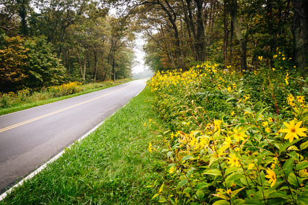 rural skyline: Yellow flowers along Skyline Drive in Shenandoah National Park, Virginia.