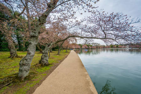 Cherry blossoms and walkway along the Tidal Basin, in Washington, DC.