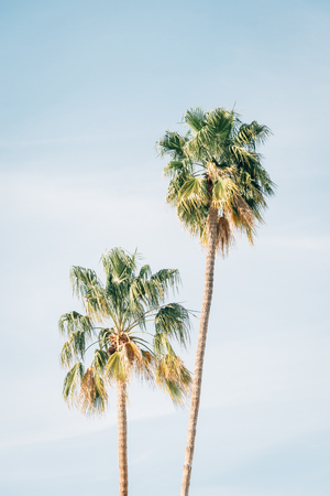 Palm trees in Palm Springs, California