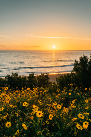 Yellow flowers and sunset over the Pacific Ocean at Salt Creek Beach in Dana Point, California