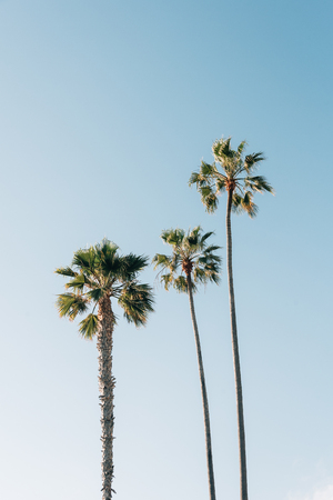 Palm trees at Treasure Island Park, in Laguna Beach, Orange County, California