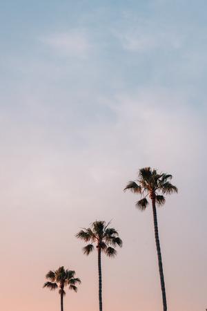 Palm trees at sunset, in Laguna Beach, Orange County, California