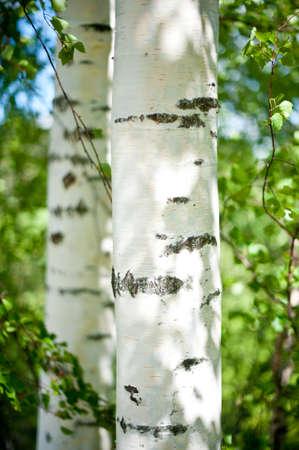 birch tree: birch