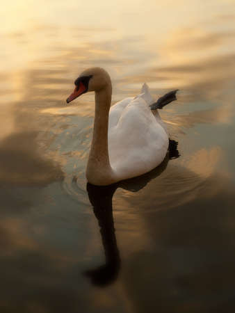 birds lake: swimming swan