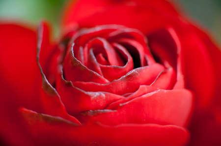 crimson: close up of red rose