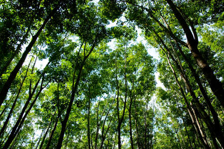 rubber plant: Rubber tree at south of Thailand