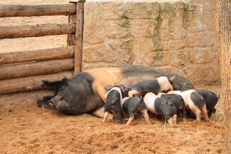 Spotted pigs Stock Photo - 4636941