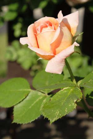 Pink rose Stock Photo - 5138637