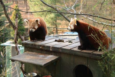 Two red pandas Ailurus fulgens photo
