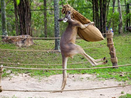 Kangaroo Stockfoto