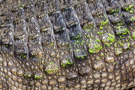Crocodile skin background. Reklamní fotografie