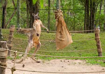 Kangaroo boxing. Stockfoto