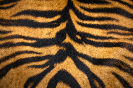 Close up tiger skin texture background.