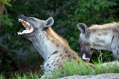 Hyena 2 stood o in the forest in love.