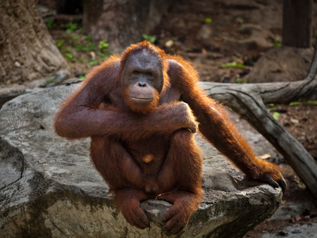 Orangutan,A male Sumatran Orangutan. Sumatran Orangutans are critically endangered in the wild due to deforestation for palm oil plantations.