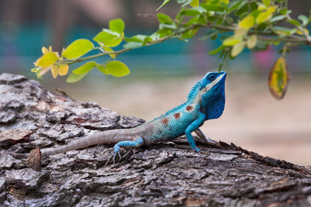 The portrait of wild lizard (BLUE-CRESTED LIZARD) on the tree.