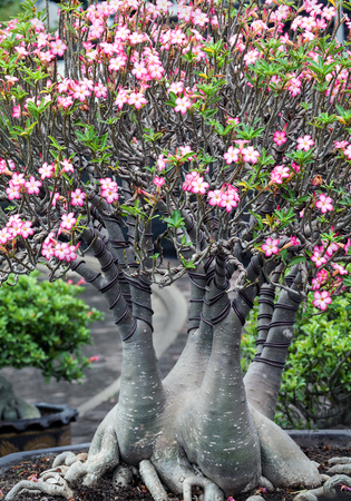 Adenium or desert rose flower.Desert rose is a species of flowering plant in the dogbane family