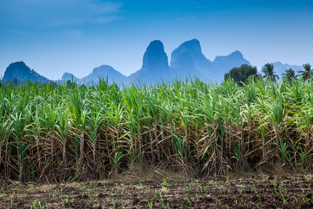 Sugar cane plantation with mountain backdrop.