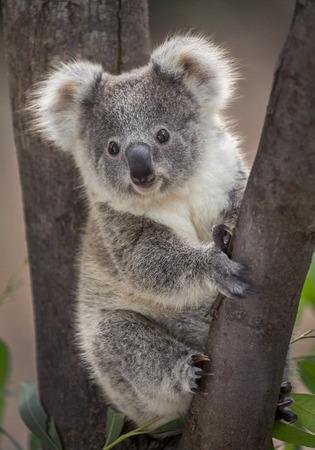 Baby koala bear. Stock Photo