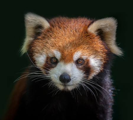 Red panda face isolated.