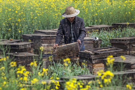 The beekeeper in the field of flowers,stard flowers, landscape in yunnan province, china.