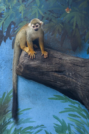 Portrait of common squirrel monkeys (Saimiri sciureus) sitting on a tree branch.
