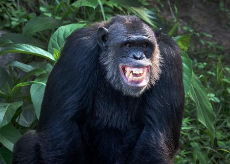 Chimpanzee smile. Imagens