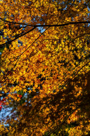 miracle leaf: Colorful maple leaf background in autumn,  Japan Stock Photo