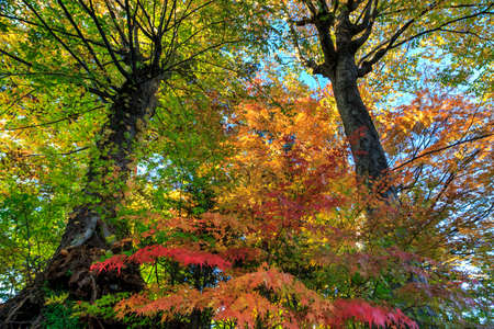miracle tree: Colorful maple leaf background in autumn,  Japan Stock Photo