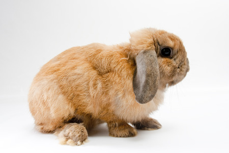 A brown furry rabbit isolated on white background