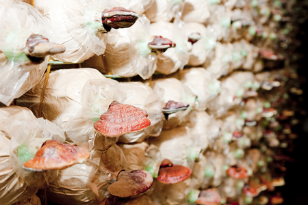 White fungus mushrooms Stock Photo