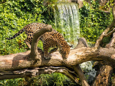 jaguar cat on tree trunk