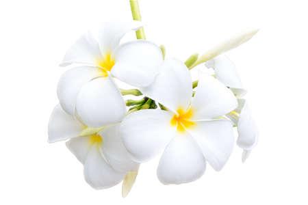 Plumeria flowers isolated on white background. Stock Photo